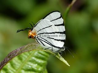 Arawacus leucogyna