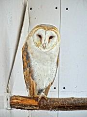 Owl Sanctuary (1) (Jon_Wales) Tags: wales barn vale owl sanctuary barnowl ebbw
