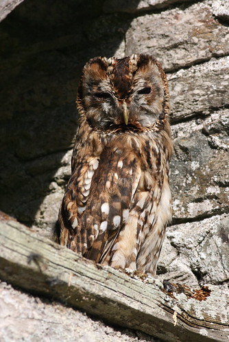 "Tawny Owl • <a style=""font-size:0.8em;"" href=""https://www.flickr.com/photos/30837261@N07/10723061646/"" target=""_blank"">View on Flickr</a>"