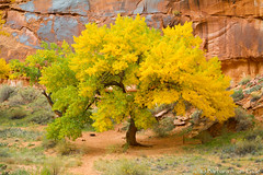 Cottonwood turning golden (Squirrel Girl cbk) Tags: cottonwoods usa utah autumn colorful golden yellow moab unitedstates populusfremontii sandstone wingate formation tree