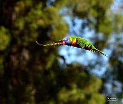 DSC_0013 (RUMTIME) Tags: bird nature birds fly flying flight feathers feather lorikeet queensland coochiemudlo