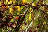 Nature's LED's (jayneboo) Tags: autumn abstract nature sunshine garden stars lights bush berry grasses starbursts odc2 sigma85mm14