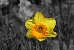 B&W (Marianel1) Tags: madrid light bw espaa naturaleza white black flower byn blanco luz yellow garden spain nikon flickr negro flor jardin bn amarillo botanico desaturacion selectiva d3000 marianel1