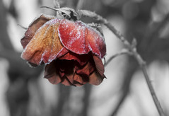 Frozen Rose (Another Seb) Tags: winter red flower nature fleur rose rouge frozen frost hiver gel gele croqjardin