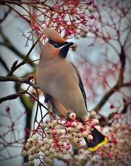 Waxwing (Alan Woodgate) Tags: