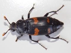 Sexton Beetle - Nicrophorus sayi (Fyn Kynd Photography) Tags: usa macro nikon maine newengland april beetles coleoptera 2013 silphidae nicrophorus carrionbeetles sextonbeetles nicrophorussayi nikoncoolpixl810
