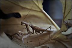 Louva-a-deus (gilxxl) Tags: insectos macro folhas portugal sony natureza castanho louvaadeus tondela dslra100 saariysqualitypictures mygearandme mygearandmepremium mygearandmebronze mygearandmesilver mygearandmegold mygearandmeplatinum gilbertooliveira gilxxl