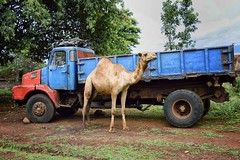 Will Carry Anywhere, Kibish (Rod Waddington) Tags: africa truck transport camel omovalley ethiopia ethiopian kibish