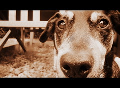 po (ron.boost) Tags: dog cinema cute nose big funny sweet scope adorable whiskers eyebrow po stare doggy