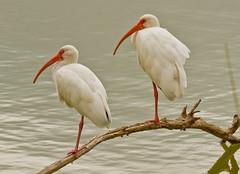White Ibis (Lindell Dillon) Tags: nature birds texas wildlife whiteibis wadingbirds esterollanogrande lindelldillon