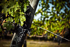 Grapes (Duda Arraes) Tags: southamerica colors uruguay wine winery latin grapes canelones