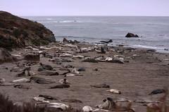 The Hearst San Simeon State Park Elephant Seal Trail,  California (sensaos) Tags: california park travel sea usa elephant nature animal mammal 1 coast highway san state wildlife united trail seal states hearst simeon the 2013 sensaos amserica