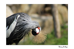 Cou Royal / Royal Neck (Thierry De Neys - Photographies) Tags: africa red white black sahara neck rouge grey gris golden noir belgium belgique bokeh crest bisou rood zwart wit blanc cou plume afrique crownedcrane plumage douceur dor wallonie doux hainaut crte gruidae chassier grueroyale ttelenvers voyou brugelette pairidaiza bisoudanslecou thierrydeneys avoirlattelenvers infinitexposure