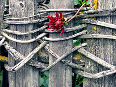 Where the wild roses grow (Felson.) Tags: wood red plant flower fence fiore rosso legno pianta staccionata steccato songbluemountainamycanbe