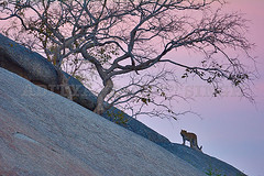 ADS_000062628 (dickysingh) Tags: wild cats india wildlife bigcats rajasthan leopards bera