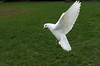 Dove DSC_2326.jpg (Sav's Photo Gallery) Tags: uk london birds dove gb hollandpark whitedove savash