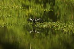 biguatinga (Anhinga anhinga) (4290) (Jorge Belim) Tags: fauna pássaro ave 70200 canoneos50d bípede