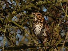 Song Thrush (ukstormchaser (A.k.a The Bug Whisperer)) Tags: uk tree bird birds animal animals bush song wildlife milton keynes bushes thrush thrushes