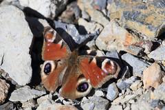Peacock (Dartmoor Mike) Tags: butterfly north peacock devon dartmoor belstone