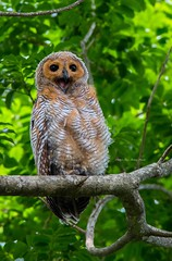 Spotted Wood Owl (Meng Huat) Tags: wood owl spotted