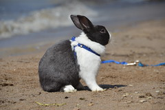 Whisper at the beach (Sapphire Dream Photography) Tags: pet baby pets white cute rabbit bunny bunnies dutch grey furry babies little sweet fluffy social rabbits oryctolaguscuniculus socializer
