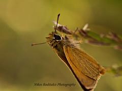 Thymelicus acteon (Rottemburg 1776), Fam. Hesperiidae,  Lulworth Skipper (roditakisnikos) Tags: fauna greek skipper butterflies lulworth cretan hesperiidae thymelicus acteon