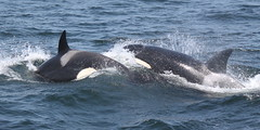 Transient Killer Whales (EchoBeluga) Tags: ocean blue bay monterey watch whale