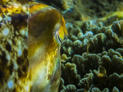 Cuttlefish Over the Shoulder Perspective (garyeverettdavis) Tags: macro underwater southpacific invertebrate