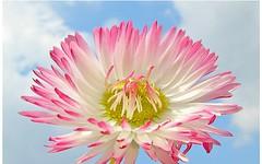 Emotions (maf04) Tags: flowers sky flower nature am terrorist daisy addicted dainty a i not masterphotos lovelyflickr