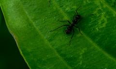 Ant (Skagos26) Tags: plant macro green nature animal closeup bug insect leaf nikon bokeh wildlife ant micro upclose 105mm d7100