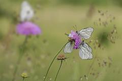 Aporia Crataegi (Opiesse) Tags: flower macro bokeh liguria appennino ligure farfalle aporia crataegi