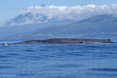 Spring of blue whales on Pico (karina1101) Tags: sea portugal nature meer mare natur pico whale marinemammal wal whalewatching azores bluewhale acores blauwal azoren baleenwhale balaenopteramusculus baleiaazul lajesdopico meeressäugetier