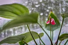 The First Rain.. (M$ingh.) Tags: plants flower reflection rain closeup 50mm prime nikon bokeh anthurium laceleaf d7100