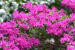 Alfred Nicholas Gardens Azalea (silverwine) Tags: azalea red hotpink alfrednicholasgardens