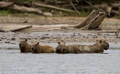 Capybara2 (tau247) Tags: amazonianrainforest capybara hydrochoerushydrochaeris manunationalpark peru southamerica bathing group mammal nature rodent wildlife