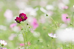 walking together closely (hitohira_) Tags: flowers nature bokeh cosmos flower