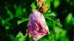 The Wilted Flower (joshuaberneking) Tags: nikon d5100
