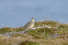 Dotterel (angus molyneux) Tags: scilly bryher dotterel