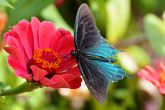 Pipevine swallowtail on pink zinnia (justkim1106) Tags: butterfly insect flower zinnia nature
