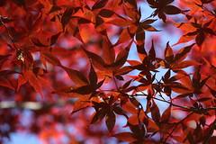 Brilliant Red (yukky89_yamashita) Tags: 長野 信濃町 autumn leaves red shinanomachi 俳諧寺