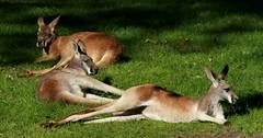 Lazy Roos (Emily K P) Tags: milwaukeecountyzoo zoo animal wildlife red kangaroo roo lazy lay rest three group