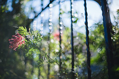 (SUDAYAMA) Tags: flower bokeh   red