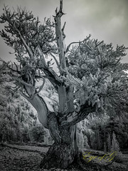 Bristlecone Pine at 11,000' in Infrared.jpg (Eye of G Photography) Tags: trees usa monolaketrip sunrise infrared northamerica bristleconepine skyclouds sunsetsunrise inyoforrest places california