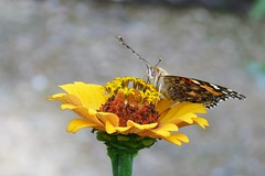 Painted Lady (Patricia Henschen) Tags: zinnia asteraceae butterfly paintedlady denverbotanicgardens denvercolorado denver colorado botanic garden flowers nature