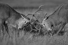 The Rut (oddie25) Tags: canon 1dx 600mmf4ii rut rutting stag deer reddeer richmond richmondpark london wildlife wildlifephotography nature bw