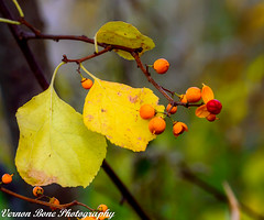Yellow Berries (vernonbone) Tags: 105mm 2016 autumn d3200 eastpoint eastpointpark ice january2016 lens march2016 november ontario birds closeup landscape macro marco105mm marco105mmsigma nikon outside sigma street