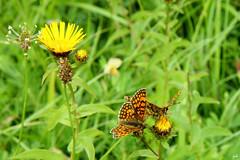 Mélitées des mélampyres _Melitaea athalia (nicéphor) Tags: rhopalocères papillons faune flore nature eos50d canon macro proxiphotographie couleurs
