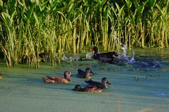 isn't it interesting.. (just call me Mr Lucky) Tags: ducks chasing harassing science splashing possibilities