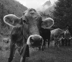 curiosona- val vallaro -07 2016 (Roberto Gramignoli) Tags: mucca valvallaro parcoadamello animali pellicola vacca bovino bovini montagna blackandwite bw cow