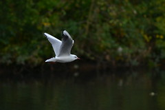Gull (Orange Dean) Tags: gull bird outdoors water nikon d3100 stockport abneypark